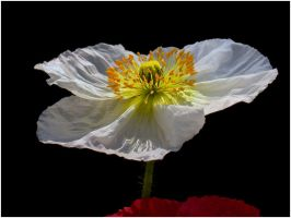 WHITE POPPY 2 7 11 by THOM-B-FOTO