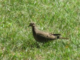 Mourning Dove 14 by moulinrougegirl77
