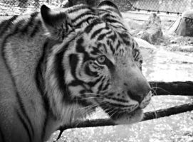 Black and white tiger by TacoDestroyerAvenger