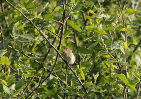 Wood Warbler by JetteReitsma