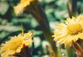 Coltsfoot closeup by Lollo