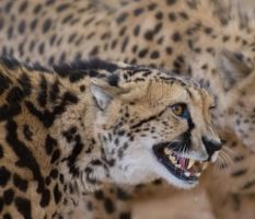 King cheetah snarl by alecd