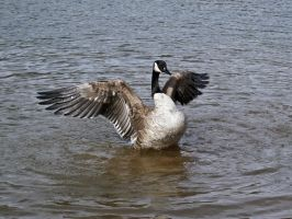 canadian geese XII by Baq-Stock