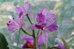 orchids 3234 by fa-stock