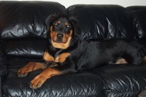 Rotten Rottweiler by TheJokesOnYou