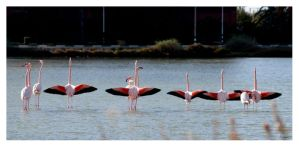 Parade du flamant rose by servale