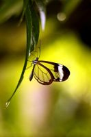 The Glasswing Butterfly by zestkitten