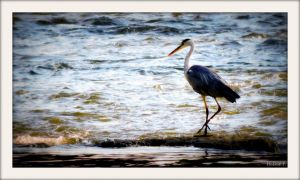 An other day - An other heron - 4 by Hubert11