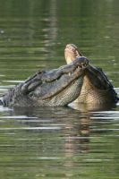 Dualing Gator Growls by Kippenwolf