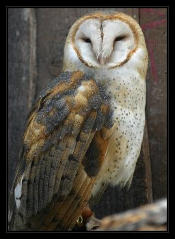 Barn Owl III by oOBrieOo