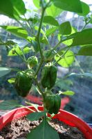 Peppers by Arrmand