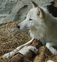 Arctic Wolf by OrioNebula