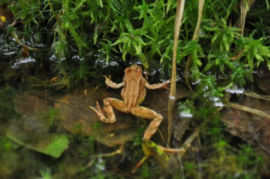 frog10 by perwistrand
