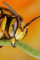 Wool Carder Bee Series 2-6 by dalantech