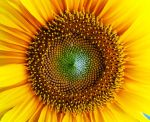 Sunflower by marjol3in1977