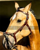 Young Lusitano Portrait by madboy