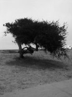 Tree at Mission beach CA by capturedpoetry