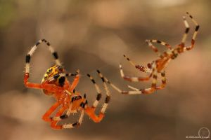 Araneus marmoreus by eagle79