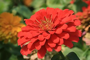 red cinia by marlene-stock