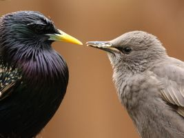 Starling Face off by pell21
