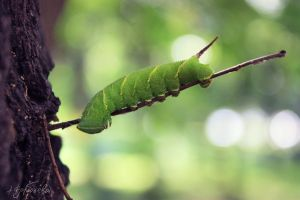 Leaf-Caterpillar by silverwing-sparrow