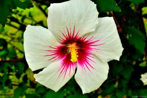 Hibiscus by plantm