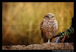 Burrowing Owl by TVD-Photography