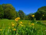 Buttercups by BusterBrownBB