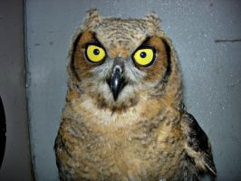 Juvinelle Great Horned Owl by Aniar