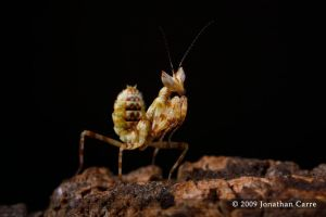 Creobroter pictipennis nymph 6 by InsaneGelfling