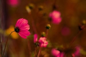 pink bokeh by little--baby-nothing