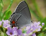 .,.Gray Hairstreak.., by duggiehoo