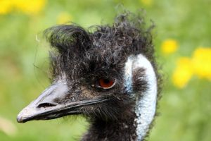 Emu family by printsILike