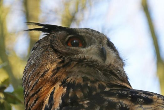 Eagle owl head by BetaDraconis