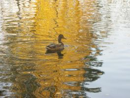 Duck in the park by goodmixer