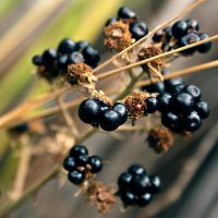 brownblackberries by pantasticalpants