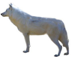 Arctic wolf PNG by lubman