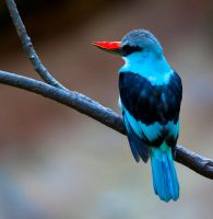 Blue-Breasted Kingfisher lll by deseonocturno