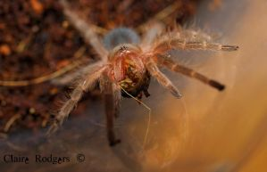 chaco golden knee sling eating a roach  nymph by MaliskaRodgers