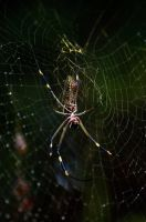 Jungle Spider by lynsea