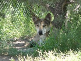 LD August 14: Mexican Wolf 22 by FamilyCanidae