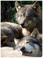Wolves by aleania