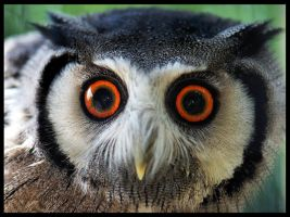 baby scops by VastandInfinite