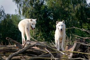 Wolves by PenguinPhotography