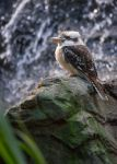 Ridiculously Photogenic Kookaburra by tuftedpuffin