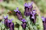 Spanish Lavender with bee 08 by dkbarto