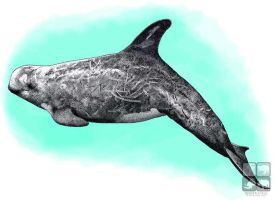 Risso's Dolphin by rogerdhall