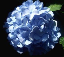 BLUE flower by eviebaby723