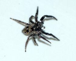 Salticidae...in the kitchen sink by duggiehoo