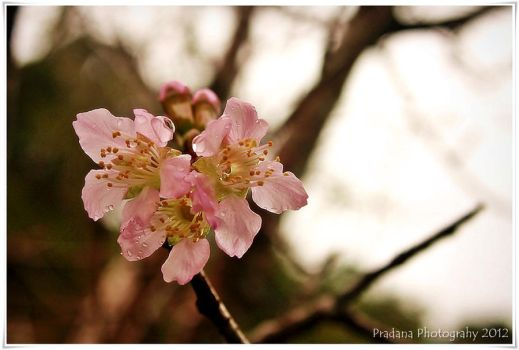 sakura flower by rizkipradana